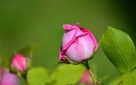 Rosa, broto, close-up, verde, folhas