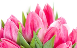 Preview wallpaper Pink tulips flowers close-up, white background