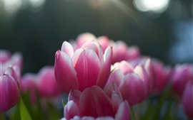 Preview wallpaper Pink tulips, focus, sun rays, spring
