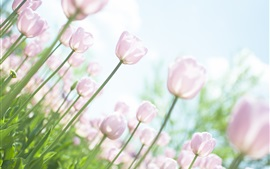 Preview wallpaper Pink tulips, garden, glare, sky