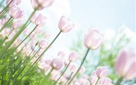 Розовые тюльпаны, сад, яркий свет, небо