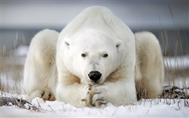 Preview wallpaper Polar bear rest, snow, grass