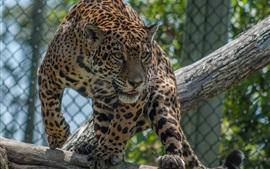 壁紙のプレビュー プレデター、ジャガー、顔、動物園