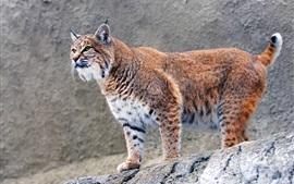 Predator, lynx, piedras