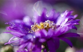 Purple petals flower macro photography, dew, bokeh
