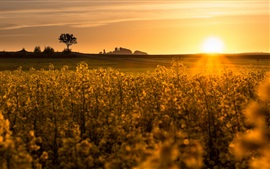 Rape field, sunset, glare