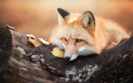 Red fox rest