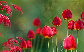 Preview wallpaper Red tulips and red leaves, dew