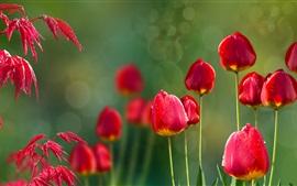 Vermelho, tulips, vermelho, folhas, orvalho