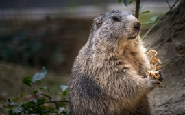Close-up, marmota, roedor