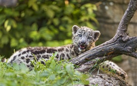 Preview wallpaper Snow leopard cub yawn