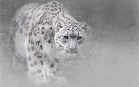 Snow leopard in winter, snow, fog
