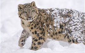 Preview wallpaper Snow leopard, predator, winter, thick snow