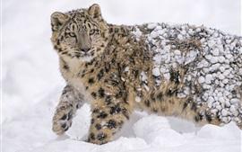 Снежный барс, хищник, зима, мощный снежный