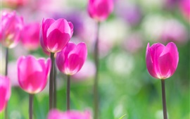 Preview wallpaper Spring flowers, pink tulips, blurry background