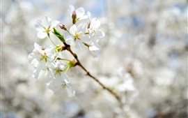 Preview wallpaper Spring, white flowers bloom, twigs