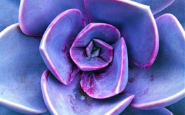 Preview wallpaper Succulent plants, purple petals