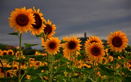 Sunflowers field, summer, dusk