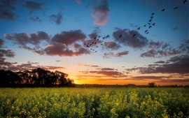Sunset, rape field, trees, sky, clouds, birds