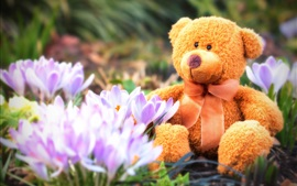 Teddy bear, toy, crocuses, spring