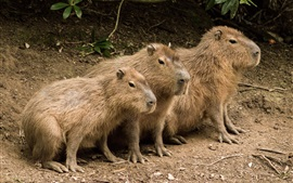 Preview wallpaper Three cute capybaras