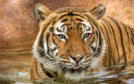 Preview wallpaper Tiger look at you, predator, water