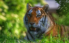 Preview wallpaper Tiger stay in the grass, face