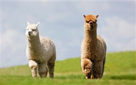 Two alpacas walking, white and brown