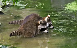 Two raccoons in pond