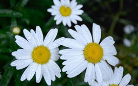 Preview wallpaper White daisies flowers, water droplets