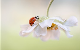 Preview wallpaper White flower petals, ladybug