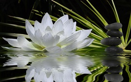 White flower, water lily, stones, grass