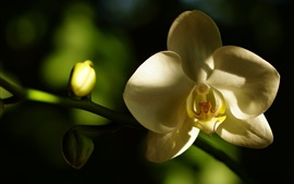 Preview wallpaper White petals orchid, phalaenopsis