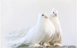 Белые голуби, одна пара птиц