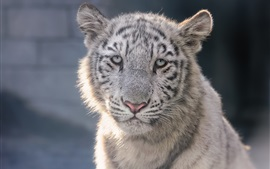 White tiger cub, face