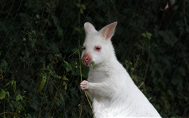 Preview wallpaper White wild rabbit chewing leaf