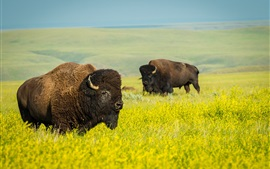 Preview wallpaper Wildlife, buffalo, rape field