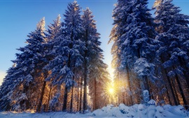 Winter, snow, forest, trees, sun rays