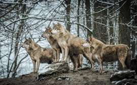 Wolves in winter forest