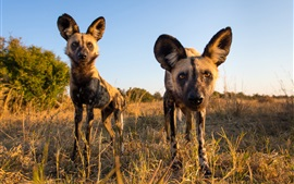 Preview wallpaper African wild dog