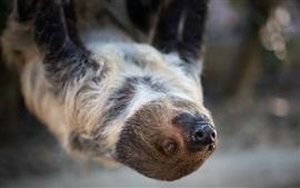 Animal, preguiça, frente, vista