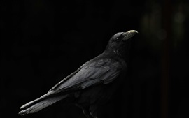 Preview wallpaper Black bird, raven, black background