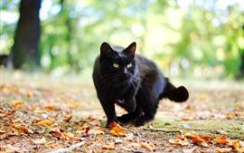 Gato preto no outono, folhas, bokeh