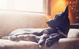 Cães pretos na sala de conforto