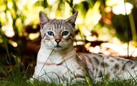 Preview wallpaper Blue eyes cat, rest, grass
