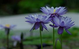 壁紙のプレビュー 青い花、水のユリ