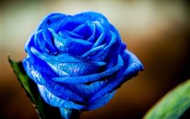 Aperçu fond d'écran Bleu, pétales, rose, fleurs