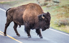 Preview wallpaper Buffalo in the road, horns