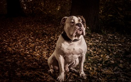 Preview wallpaper Bulldog, ground, leaves