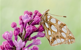 Preview wallpaper Butterfly, moth, wings, pink flowers
